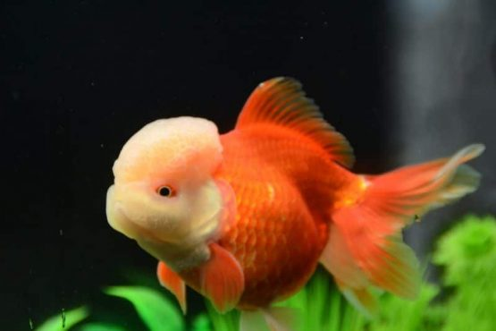 lion head oranda gold fish