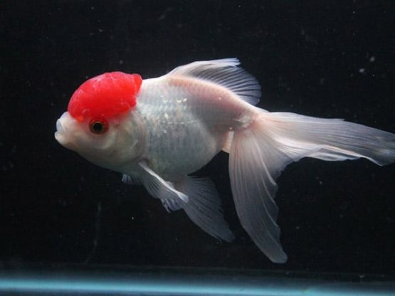 Red Cap oranda gold fish